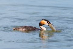 Great crested grebe podiceps cristatus with fish in beak. Swimming great crested grebe podiceps cristatus with fish in beak royalty free stock images