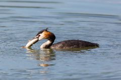 Swimming great crested grebe podiceps cristatus with fish. In beak royalty free stock image