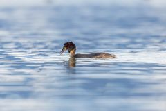 Swimming great crested grebe podiceps cristatus shaking head Stock Photo