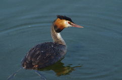 Swimming grebe. In dutch waters royalty free stock photography