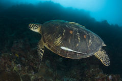 Swimming Green Sea Turtle Stock Photography