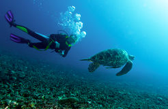 Swimming green turtle Stock Image