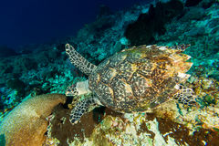 Swimming Green Turtle Royalty Free Stock Images