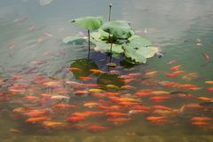 Swimming Group of carps on lotus lake. In daylight in a park stock photography