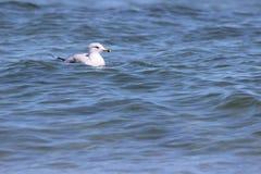 Swimming Gull Stock Images