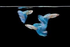 Swimming guppy, goldfish Stock Images