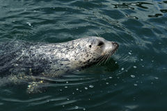 Swimming harbor seal Royalty Free Stock Photo