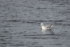 Swimming Herring Gull Royalty Free Stock Images