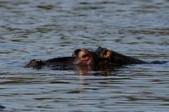 Swimming Hippo. The hippo or river horse is a very large mammal, which you can find in africa Stock Photo