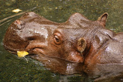Swimming Hippo. A hippo swimming amid fall leaves Stock Photos