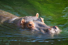 Swimming hippo. In a zoo Royalty Free Stock Photo