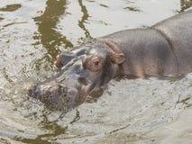 Swimming hippopotamus Royalty Free Stock Image