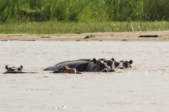 Swimming hippos Rufiji river Royalty Free Stock Photos