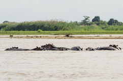 Swimming hippos Rufiji river Stock Photos