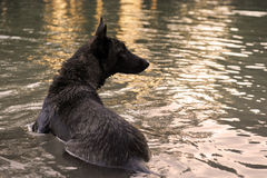 Swimming Holland Shepherd. Portrait of an holland shepherd in a river Stock Photos
