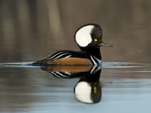 Swimming Hooded Merganser Stock Photos