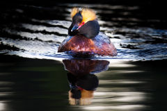 Swimming Horned Grebe - Slavonian Grebe Stock Photo
