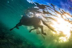 Swimming horse underwater shot against sun on water surface. Swimming horse in clear sea, underwater shot against water surface and blue colorful rippes on royalty free stock photography
