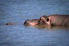 Swimming hyppo. An hyppo having a bath Stock Photo