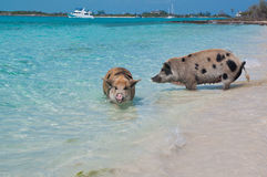 Swimming Island Pigs royalty free stock photo