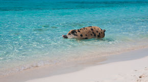 Swimming Island Pigs Royalty Free Stock Images