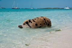 Swimming Island Pigs stock photos