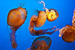 Swimming jellyfish. Jellyfish also known as sea jellies or a stage of the life cycle of Medusozoa. Those are free-swimming members of the phylum Cnidaria Stock Image