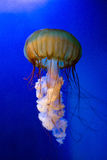 Swimming jellyfish. A jellyfish swims inside a tank royalty free stock photo