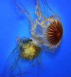 Swimming  Jellyfish. On Blue Background Stock Photography