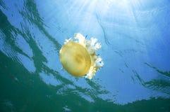 Swimming jellyfish. A swimming uoside down jellyfish below water surface royalty free stock photo