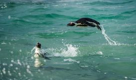 Swimming and Jumping out of water African Penguin Royalty Free Stock Photo
