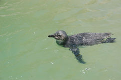 Swimming juvenile African penguin Royalty Free Stock Photo