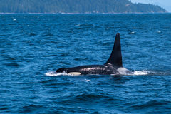 Swimming killer whale in Broughton Archipelago Marine Provincial Park Royalty Free Stock Photos