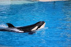 A swimming Killer whale. In San Diego, California, USA royalty free stock image