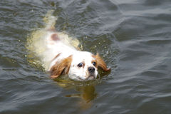 Swimming King Charles Spaniel. Our King Charles Spaniel swimming for its life royalty free stock photography