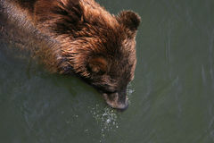 Swimming kodiak bear Stock Photo