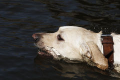 Swimming labrador Stock Image