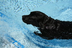 Swimming labrador. A black labrador dog swimming in a clean, blue swimming pool on a hot summers day Royalty Free Stock Images