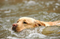 Swimming labrador retriever Stock Photo
