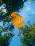 Swimming leaf from underwater Royalty Free Stock Photo