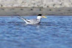 Swimming Least Tern Stock Image