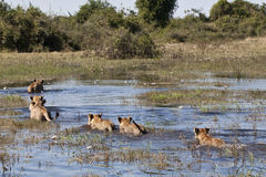 Swimming lions of the delta Stock Photo