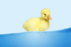 Swimming little duck Stock Photo