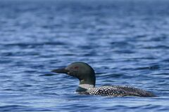Swimming Loon at Baxter State Park in Maine, USA Stock Photos