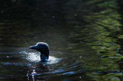 Swimming loon Royalty Free Stock Photos