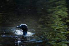 Swimming loon. Loon swimming in a lake in Haliburton Ontario royalty free stock photos