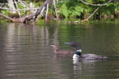 Swimming loons, a mother and her baby. An adult loon guides its infant across a calm lake. The lake water is a soft green reflection of the nearby shoreline of royalty free stock photography