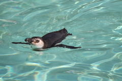 Swimming Magellanic Penguin. Royalty Free Stock Images
