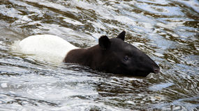 Swimming Malayan tapir in zoo de Beauval Royalty Free Stock Photos