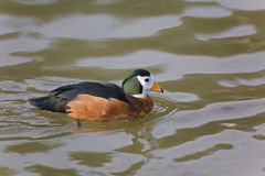 Swimming male African Pygmy Goose, Nettapus auritus Stock Image